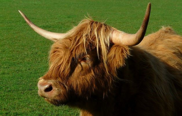 Highland-Cattle_Rind